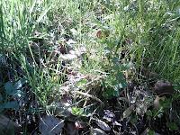 Verpa conica dans l'herbe