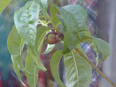 Close up of a tree branch with immature nectarines growing