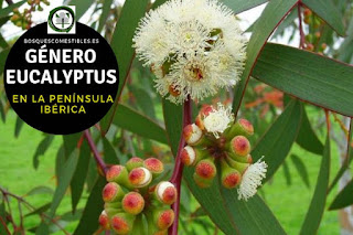 El género Eucalytus son arboles perennifolios de gran porte, pueden superar los 40 m. de altura