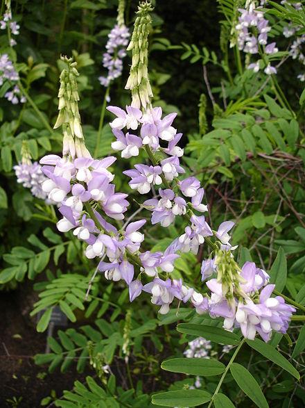 Galega officinalis, a natural source of galegine