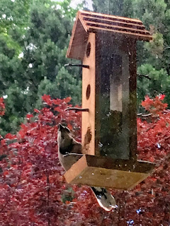 Not-eavesdropping blue jay at feeder.