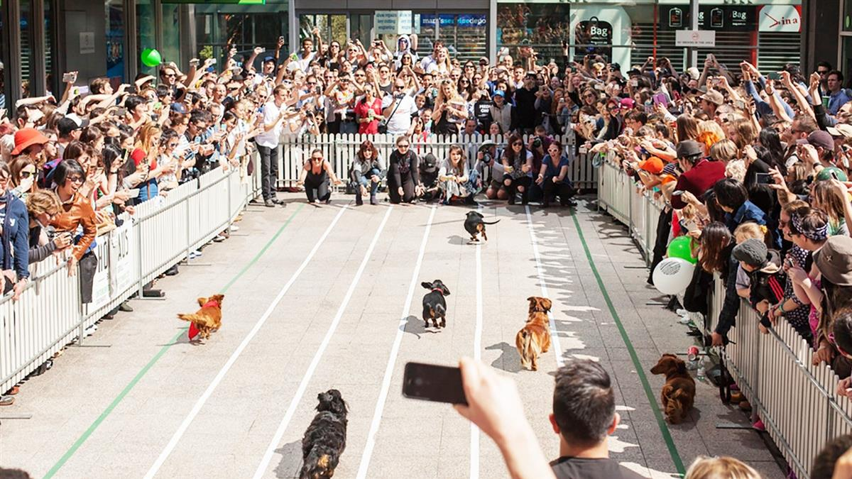 Hopehause Dachshund Race 2016 - Dachshunds race down the 15 metre track