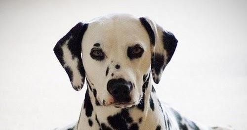 Health Problems in Dalmatians - Annie Many