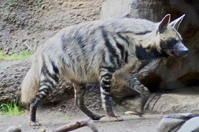 hiena, El lobo blanco, puertos, Beceite, blancota, Beseit