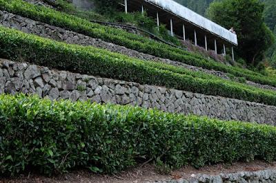 中井侍 茶畑