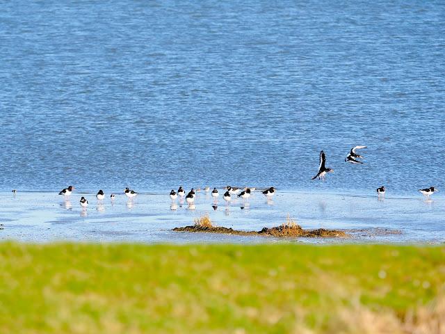 Langeoog, Nordsee, Seevogel, Austernfischer, Watvogel