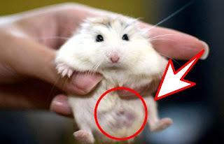 Ciri Ciri Hamster Roborovski Hamil Beserta Penangannya