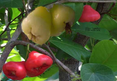 wax jambu fruit; wax jambu