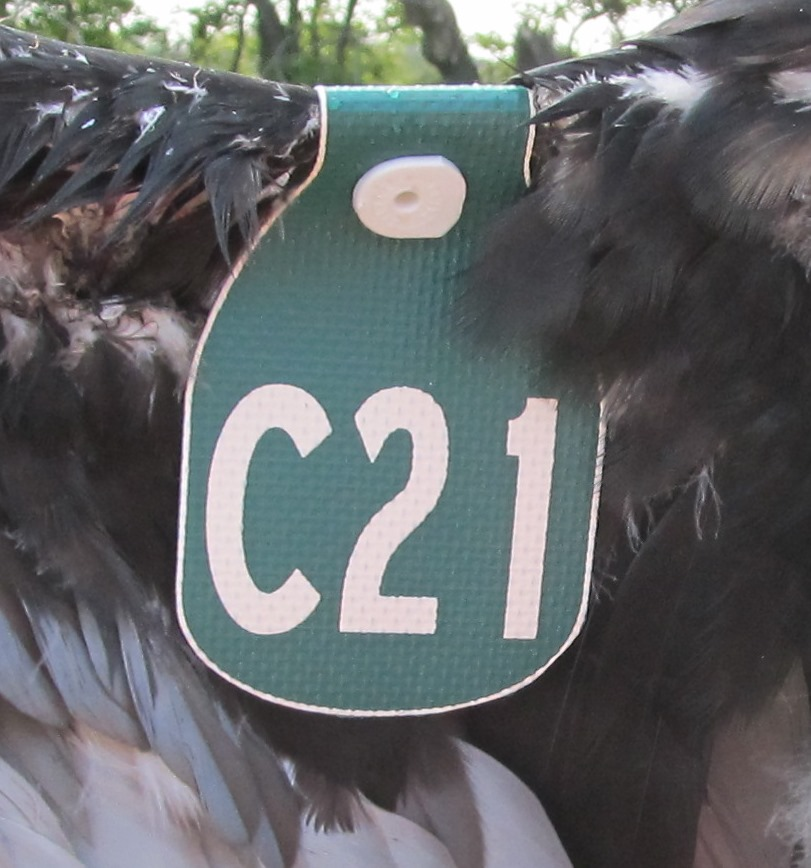 A Turkey Vulture Wing Tag