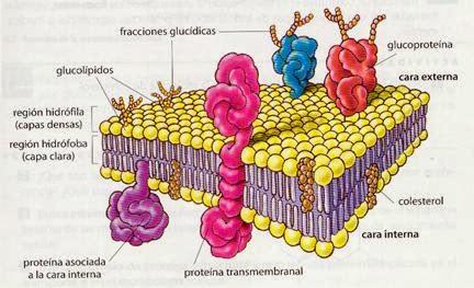 Biocelular 2013 11 17