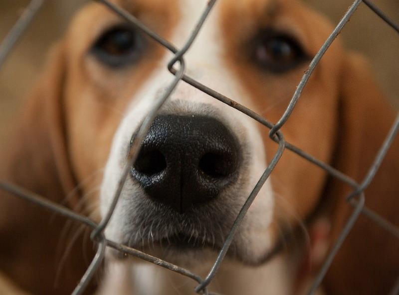 Cão beagle atrás de grades