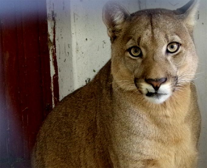 Image result for puma mascota ahora sera libre