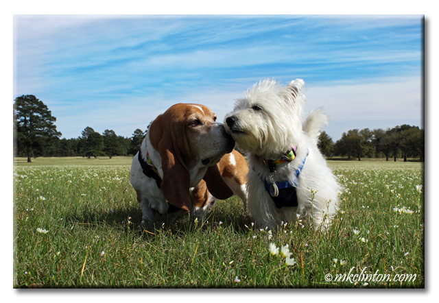 Bentley Basset Hound and Pierre Westie are best friends