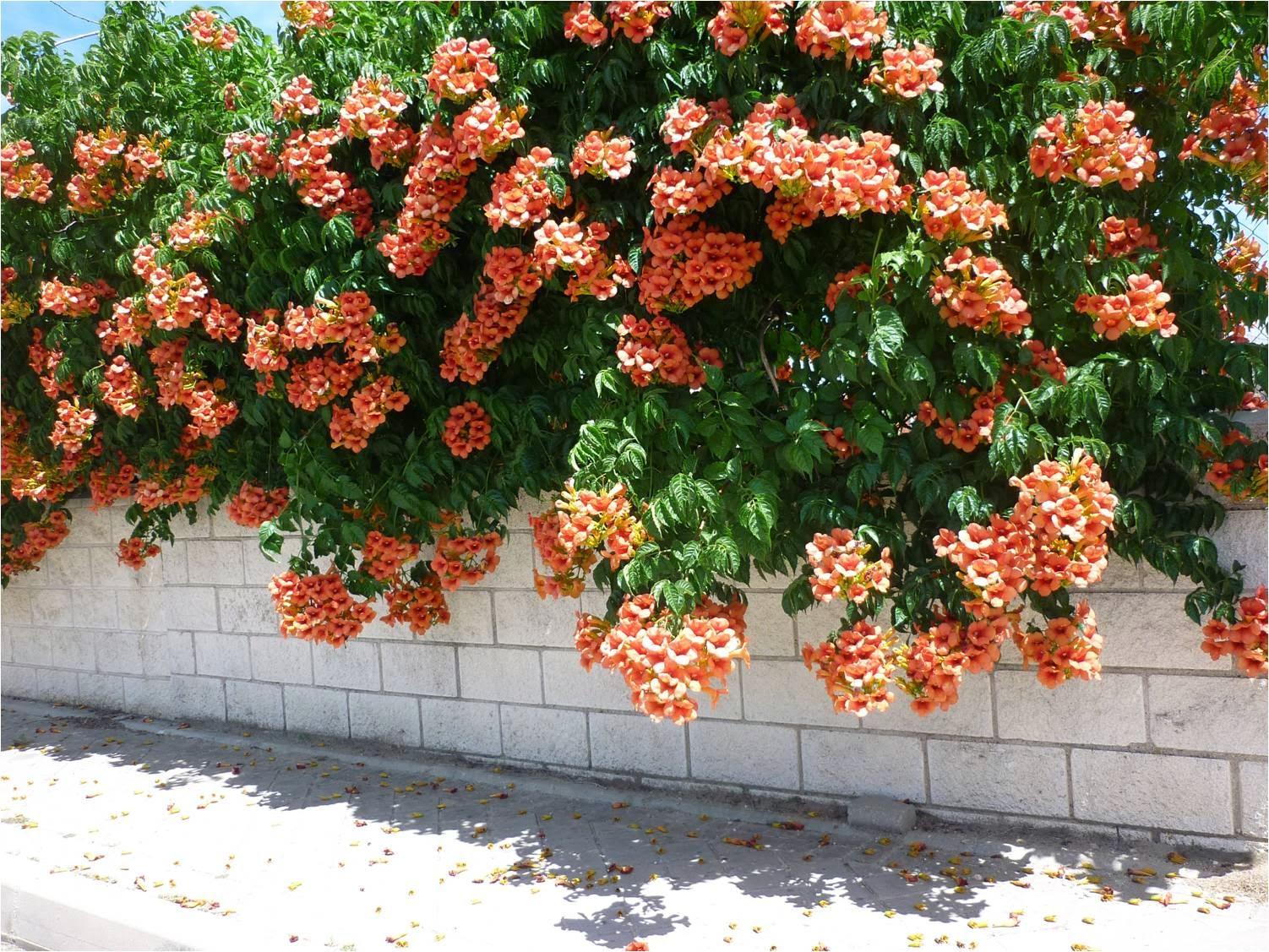 flores y plantas silvestres campsis radicans bignonia radicans campsis enredadera de. Black Bedroom Furniture Sets. Home Design Ideas