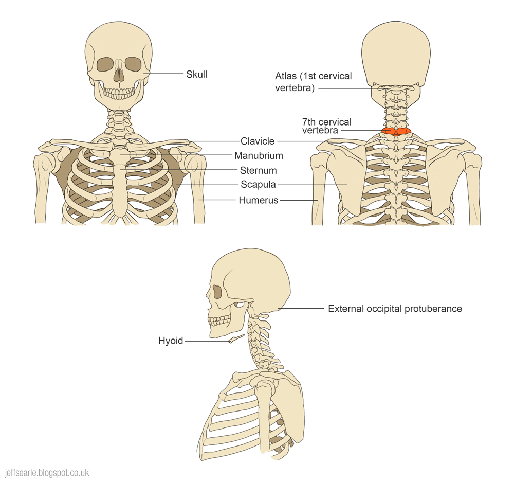hight resolution of the width of the neck is defined by the top part of the ribcage when we look at the ribcage we usually see the full width at the breast and don t notice