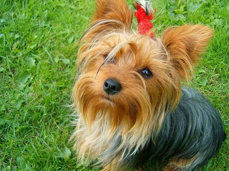 yorkshire terrier information dog breed picture yorkshire terrier dog pictures and 5391