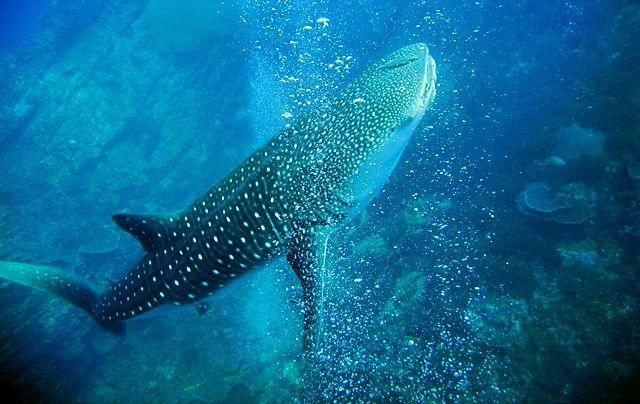 Tiburon-Ballena-Tailandia
