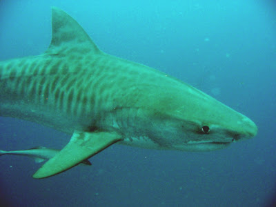 sharks tiger swimming jpg interesting facts of tiger sharks
