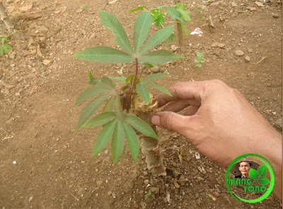 FOTO : Batang singkongnya udah di tanam dan sudah tumbuh tunas dan daun muda.