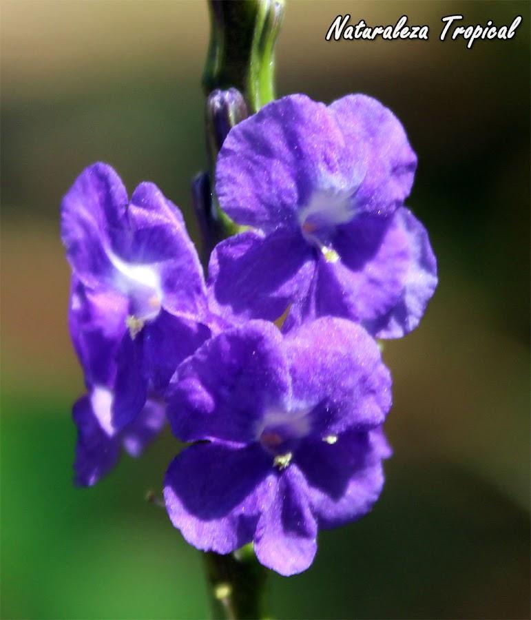 Flores de la Verbena Cimarrona u Hoja de Corrimiento, Stachytarpheta jamaicensis