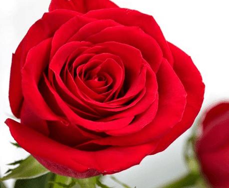 60 Foto Gambar Bunga Mawar Berbagai Jenis Dan Warna