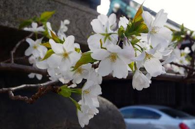 Blooming white cherry blossom flower