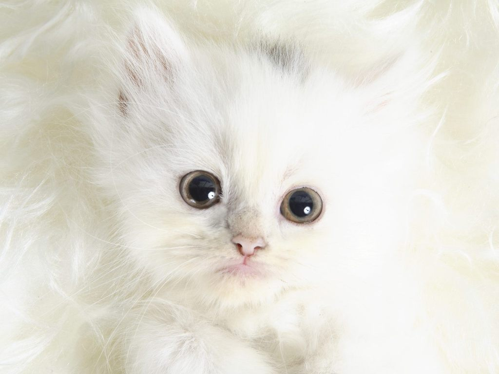 Funny Animals: Cute White Kittens