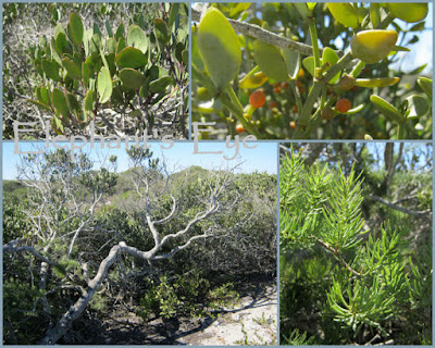 Maurocenia with Viscum rotundifolium, red mistletoe and an Asparagus fern March 2011