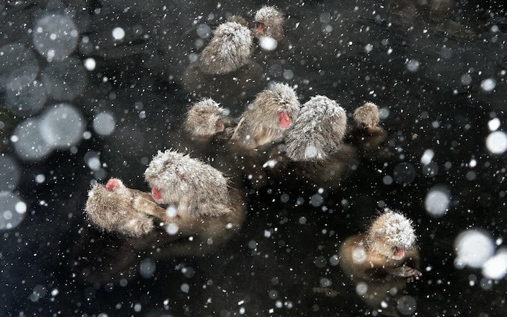 Japanese Snow Monkeys Bathing in Hot Springs  1