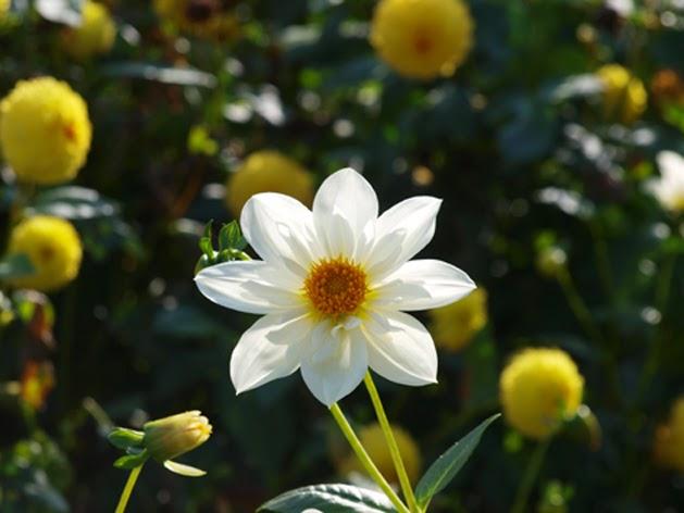 hvid dahlia