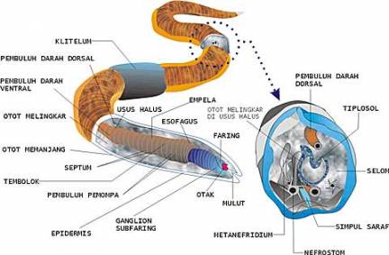Gambar sistem pencernaan pada cacing tanah
