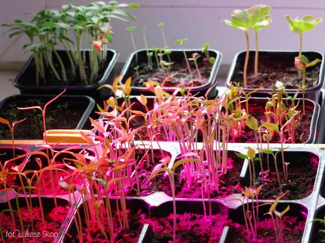 rozsada warzyw pod ledową żarówką