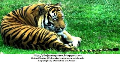 Foto del tigre descanzando en el Parque de las Leyendas. Foto del tigre de Jesus Gómez