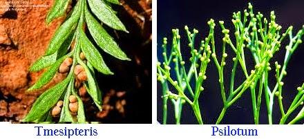 Ciri-Ciri Klasifikasi Tumbuhan Paku (Pteridophyta), Tmesipteris, psilotum