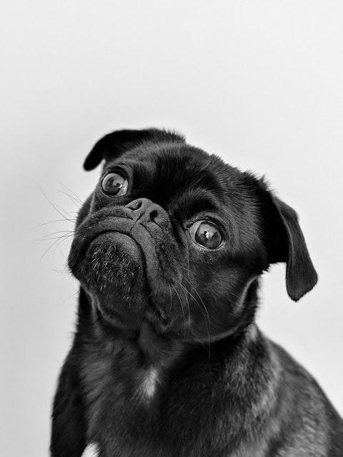 black-pug-dog-portrait