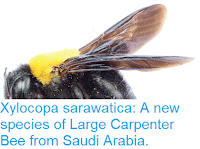https://sciencythoughts.blogspot.com/2017/11/xylocopa-sarawatica-new-species-of.html