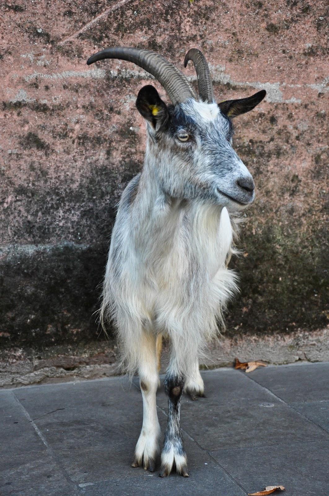 Goat, Petting Zoo, Natale di Fiaba 2015, Thiene, Italy