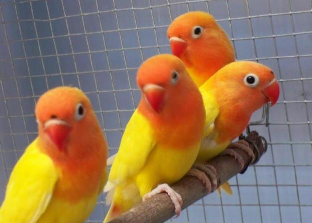 Download Mp3 Suara Burung Lovebird Gacor