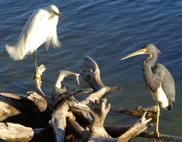 Snowy egret and tri-colored heron on driftwood in lake