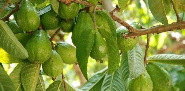 فوائد ورق الجوافة .. كنز لا يستهان به