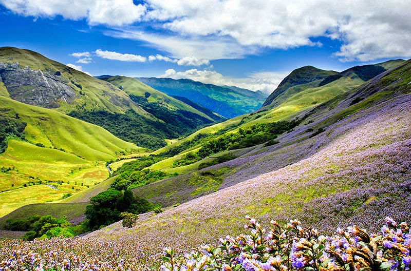 Neelakurinji Flowers in Munnar | When Neelakurinji Blooms next in munnar
