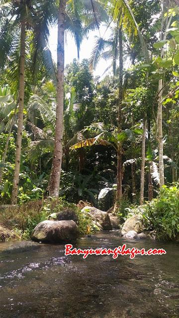 Pohon durian di Songgon.