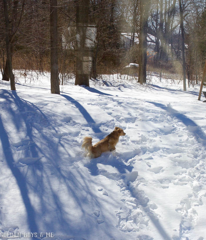 Golden Retriever leaping through the snow