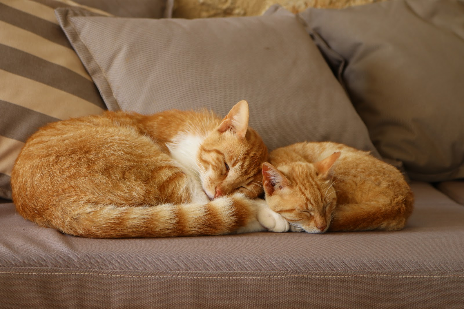 Ginger cats, F Zeen Resort, Unique Villas, Kefalonia