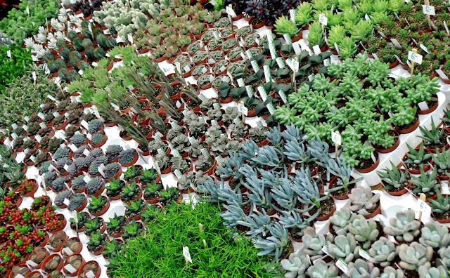 kaktusy i sukulenty na targach ogrodniczych