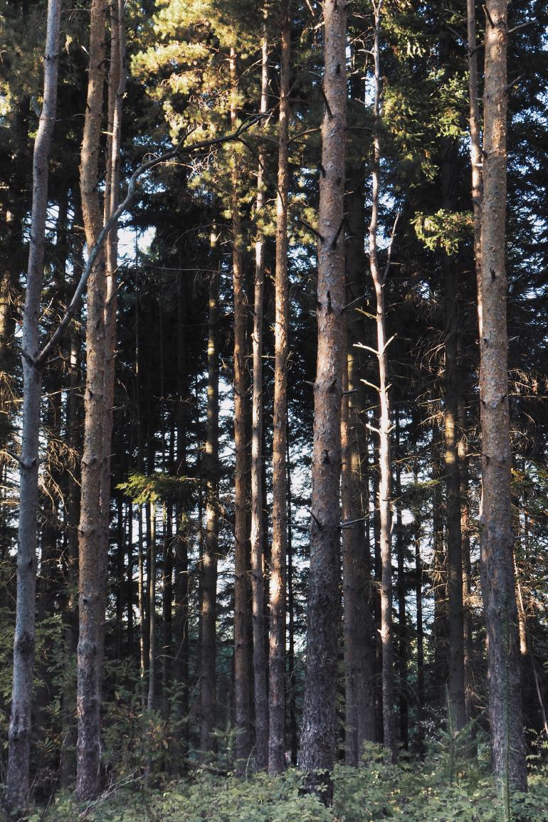 Grands troncs d'arbres en forêt