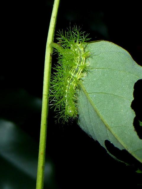Automeris belti caterpillar