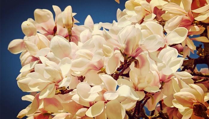 Cuidar magnolias