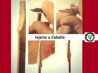 El Injerto a Caballo es un Injerto de Púa que sólo se practica en regiones en las que se emplean en la vid