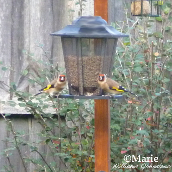 goldfinch birds eating sunflower hearts on feeder